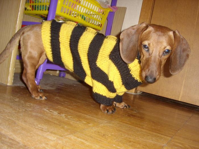 Такса в свитере
