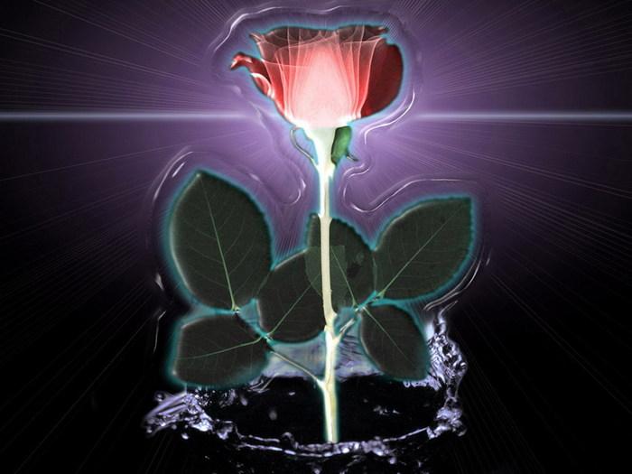 роза (700x525, 69Kb)