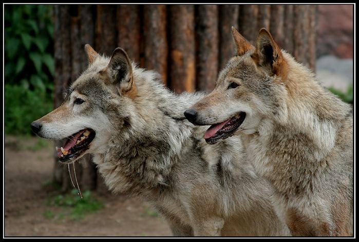 wolves 800-533 10 frame (699x472, 187Kb)