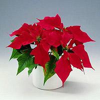 Безопасные комнатные растения фото