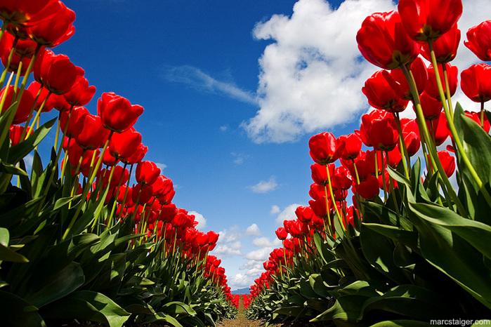 http://img1.liveinternet.ru/images/attach/b/1/18097/18097169_skagit_valley_tulip_festival_by_stranj.jpg