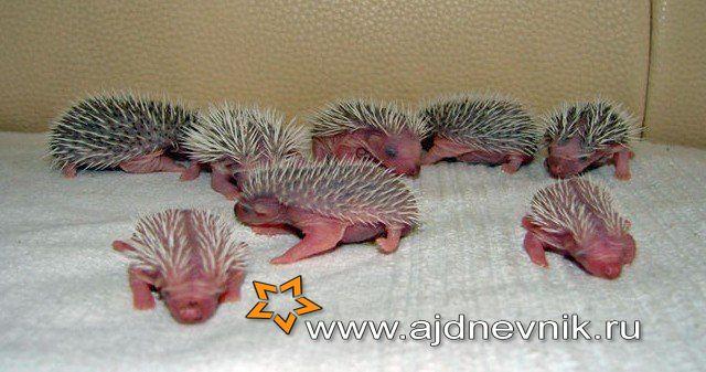 Новорожденные ежики самое интересное в блогах