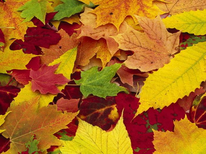 Скачать бесплатно картинку 320х240 (8088: Листья, Осень, Растения) на телефон.