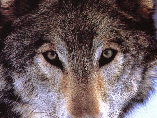 Фото волков на аватарку, бесплатные ...: pictures11.ru/foto-volkov-na-avatarku.html