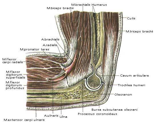 мр анатомия локтевого сустава