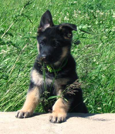 свой цитатник или сообщество!  Немецкая овчарка.  Вы забираете щенка.