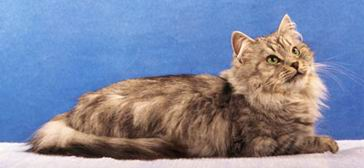 Сибирская кошка.  Очень дружелюбный, независимый.