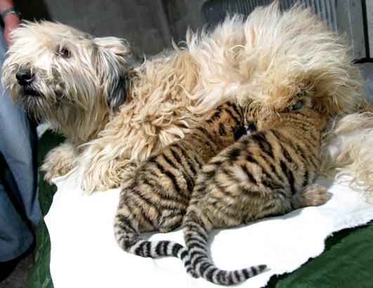 http://img1.liveinternet.ru/images/attach/b/2/24/487/24487394_1210234307_ap_dog_tiger_070716_ssh.jpg