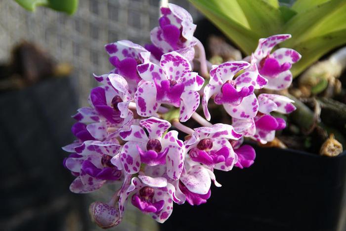 Orchid Rhyn Gigantea.