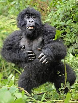 Пьяная горилла
