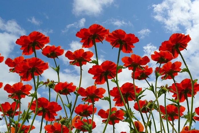 Полевые красные цветы фото и названия