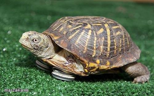 Черепаха обрела ноги