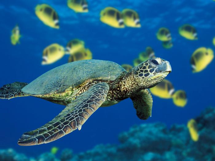 Green Sea Turtle (700x525, 283Kb)