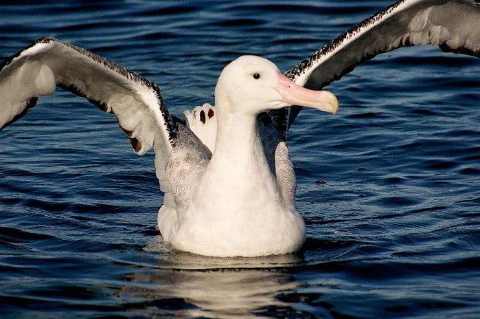 ...Гиннеса о птицах: Самый большой размах крыльев.  Самый большой размах...