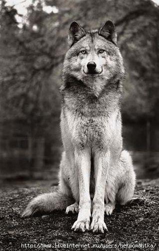 фотографии волков: