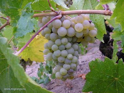 vinograd-1 (400x300, 61Kb)