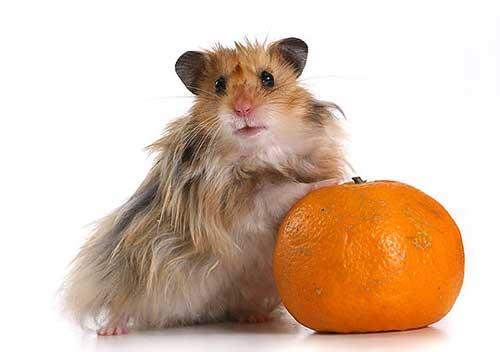 А тем временем группа хомяков-радикалов захватила власть над мандаринами!