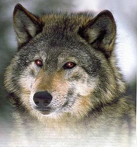 http://img1.liveinternet.ru/images/attach/b/3/19/465/19465410_1204543738_wolf2.jpg