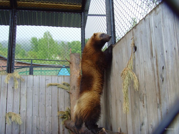 http://img1.liveinternet.ru/images/attach/b/3/21/201/21201539_Rosomaha.jpg