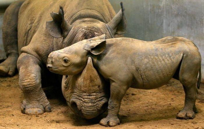 Сеья носорогов