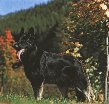Существуют различные теории происхождения немецкой овчарки.