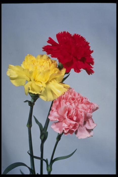 Картинки цветы гвоздики 7
