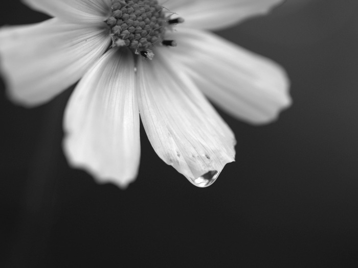 Чёрно - белые цветы . Чёрно -белая...: www.olpictures.ru/ycherno-belyie-kartinki-ytsvetyi.html