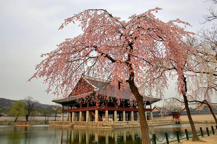 У японской сакуры, именуемой на Западе горной вишней или дикорастущей черешней, в отличие от вишни или черешни...