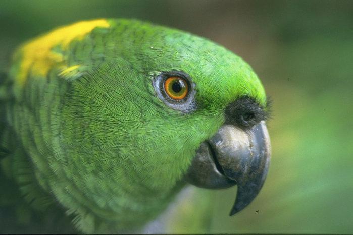 """Ролик  """"Ржачный попугай """" смотреть онлайн бесплатно в хорошем качестве, на сайте Smotri.com."""