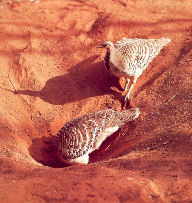 Malleefowl Leipoa ocellata