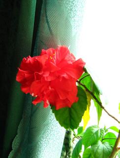 я 8 лет ждал цветения, растил в ужасных закуренных условиях недостаточного полива и прочих катаклизмов - вот такой волей к жизни надо обладать.
