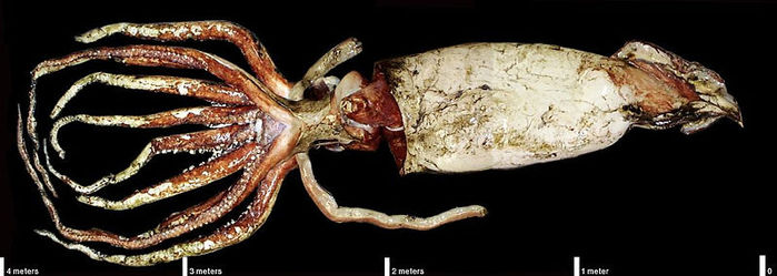 Squid giant synapse  Wikipedia