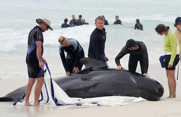 ...80 китов и дельфинов.  О массовом самоубийстве морских млекопитающих...