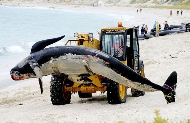 whales-rescue-12. спасение китов на западном побережье Австралии.