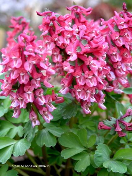 Фото цветов хохлатка