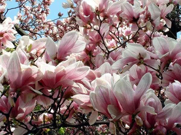 Не знаю, насколько цветок магнолии экзотический, но у меня дома такие точно не растут.