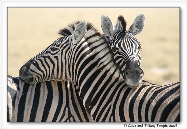 Зебры Животные Обои и фото.