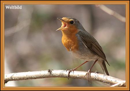 Красота какая - фото птицы малиновки.  Картинки синей птицы.