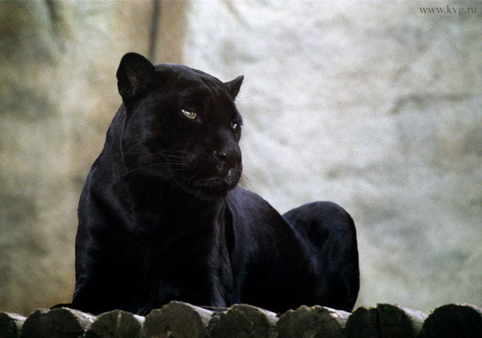 черная пантера на гербе