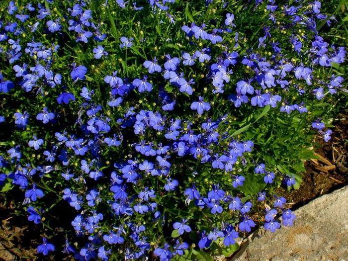 Однолетние мелкие цветы