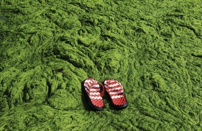 зеленые водоросли на пляже в китае фото 2 (700x454, 317Kb)