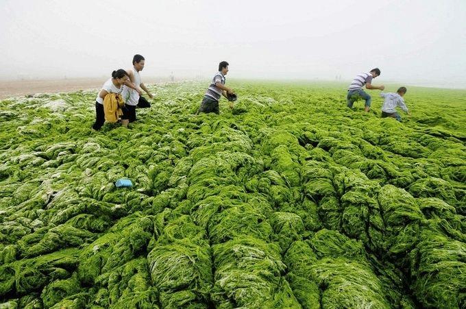 зеленые водоросли на пляже в китае фото 8 (680x451, 246Kb)