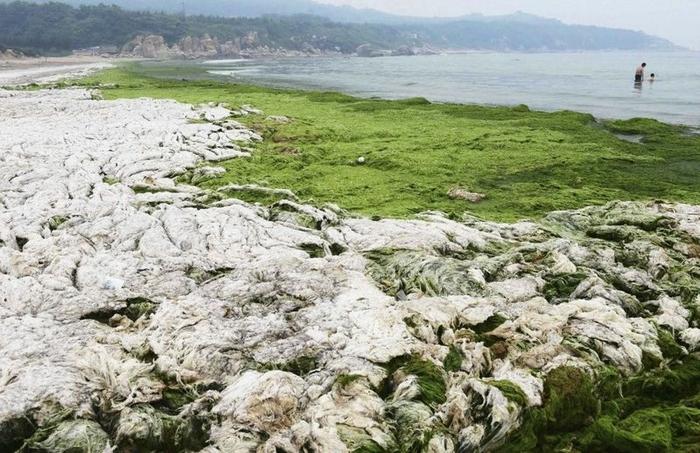 зеленые водоросли на пляже в китае фото 10 (700x453, 284Kb)