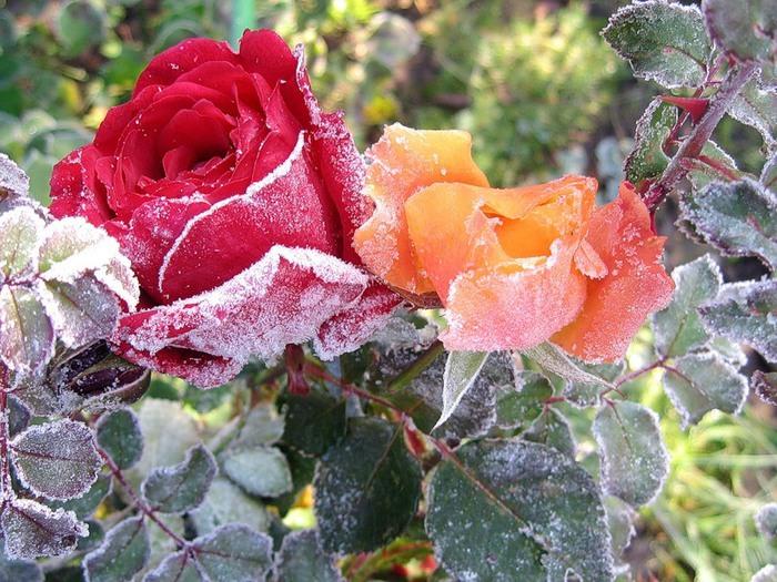 цветы под снегом.9 (700x525, 155Kb)