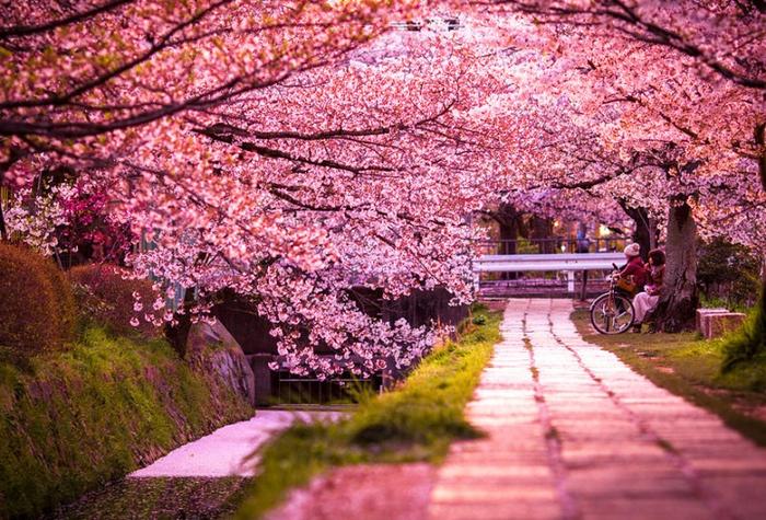 вишня цветет (700x475, 533Kb)
