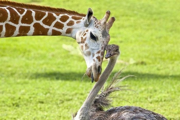 дружба животных5 (700x466, 231Kb)