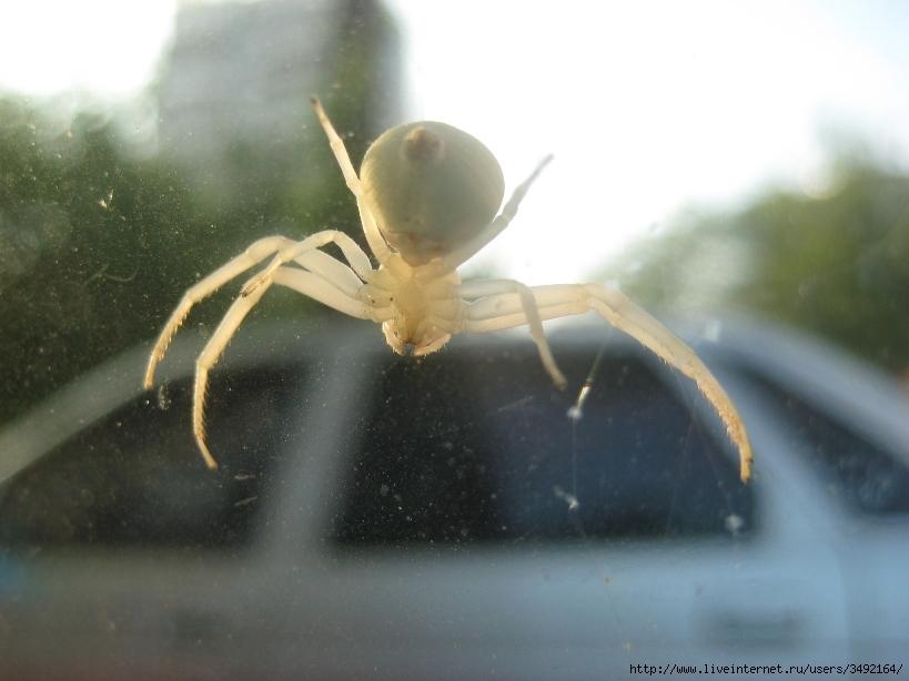 фото белый паук