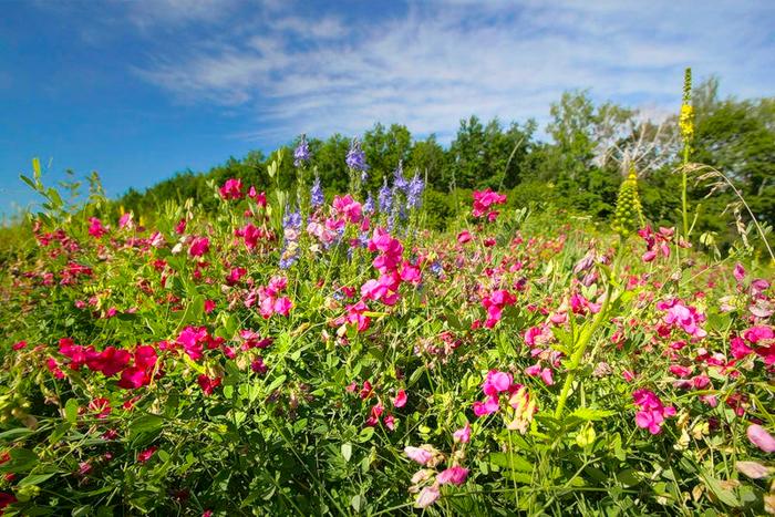 Фото цветки лугов