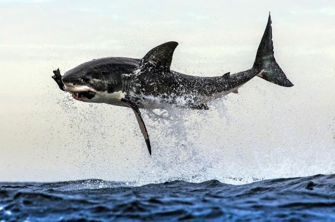белая акула фото (680x451, 272Kb)