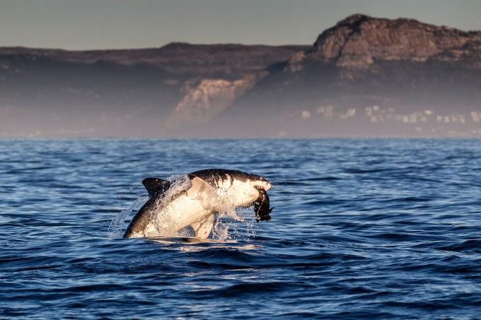 белая акула фото 1 (680x452, 255Kb)